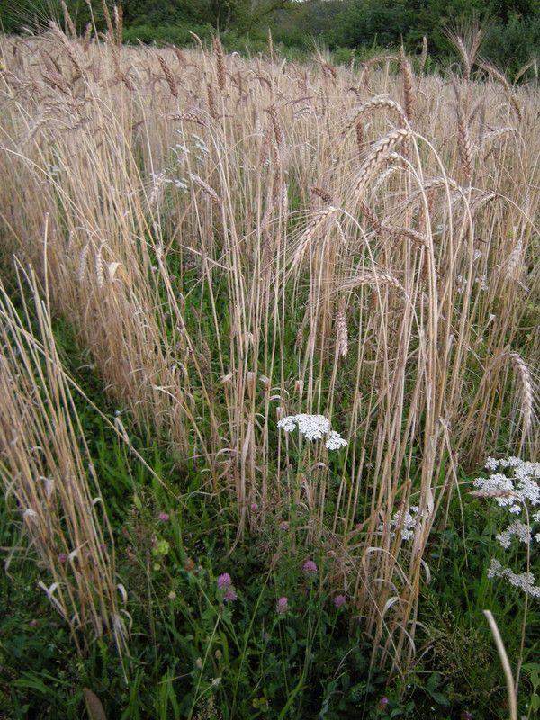 17.9.4 le vert intensité d'une prairie pure de fabacées - p