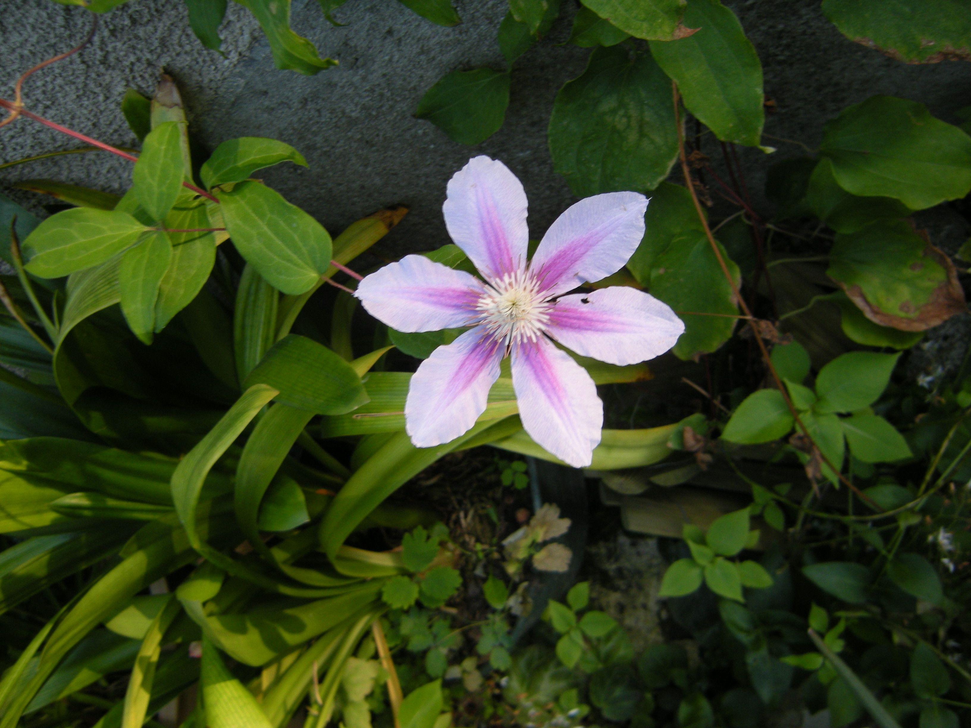 Wildflower Semences-BREBIS Sorrel 500 graines